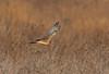 Female Northern Harrier (nikunj.m.patel) Tags: raptor birdofprey birdinflight harrier northern grassland wildlife nature wings flying birds avian bird nikon birding