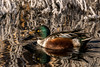 Shoveler in the Ice (MelRoseJ) Tags: dorris california unitedstates sonyalpha sal70400g sony sonyilca77m2 a77ii alpha autofocus nature northernshoveler duck klamathwildliferefuge