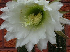 Cacti and rain drops (pat.bluey) Tags: mygarden flowers blacktown nsw australia raindrops cacti white 1001nights 1001nightsmagiccity