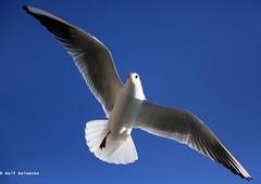 Seagull - Piran January 2017 11 (reineckefoto) Tags: seagulls piran sea blue sky bird