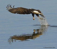 The Grab (danielusescanon - driving to Alaska) Tags: baldeagle haliaeetusleucocephalus accipitriformes accipitridae bif flying fishing grab conowingodam susquehannariver birdperfect maryland fish clutching spray water