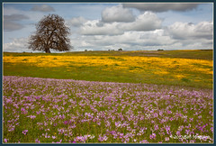 Psyching Up II 9145 (maguire33@verizon.net) Tags: shootingstar wildflowers