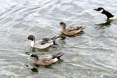 Photobomb! (David Badke) Tags: colwood bc bird