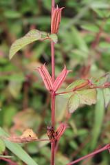 Corchorus aestuans L. (alrcardoso) Tags: corchorusaestuans corchorus malvaceae capsules capsulas fruto frutos fruit fruits