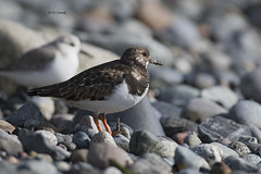 Ruddy Turnstone (featherweight2009) Tags: ruddyturnstone turnstones sandpipers shorebirds birds
