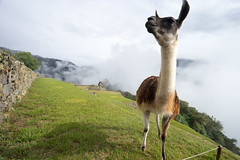 (Sepistö) Tags: peru animal llama machupicchu incatrail hikingtrail caminoinka archaeologicalsite camelid caminoinca lamaglama