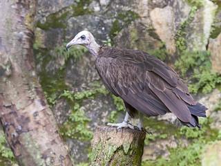 Hooded Vulture _ JBP ☺☺☺