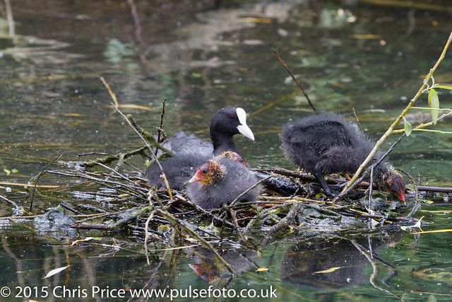 Coot chick at Sherfield-On-Loddon Pond