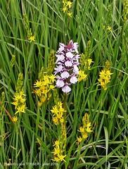 7 - Fleurs  dans la tourbire du Mougau, ossifrages (jaune) et orchides (orchis tachet) (LOUIS TOSSER) Tags: france fleurs bretagne pierres paysages monts finistre calvaire mgalithe darre commana