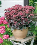 Sedum - Novem (humblelight2) Tags: plant butterfly bee bloom choice variety disease orangeflowers cutflowers novem flowerheads beeattractor soiltypes bedsandborders