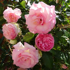 20150613e Pierre de Ronsard (@bodil) Tags: flowers france rose fleurs pierrederonsard