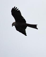 Black Kite (iansand) Tags: milvusmigrans blackkite darlingriver menindee kinchega