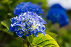 Bild5 (willi.seltmann) Tags: blue flower green handmade natur blume colar
