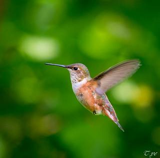 Portrait of Humming bird(Happy weekend) 蜂鳥