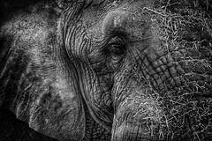 Zoo (Matt Hecht) Tags: elephant public animal animals zoo monkey photo meerkat chimp knoxville tiger lion free photograph ap getty giraffe baboon royalty domain reuters