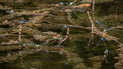 Flock of damsels (szhorvat) Tags: blue insect pond flock wetlands damselfly