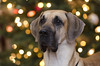 Merry Christmas (Diane G. Zooms---Mostly Off) Tags: fantasticnature greatdane greatdanephotos greatdaneatchristmas christmasgreatdane greatdanepics dianegiurcophotography coth coth5 sunrays5 clydesfriends beautiesbeasts