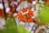 High Five (lfeng1014) Tags: highfive mapleleaves maple mapletrees autumncolours autumnleaves autumn macrophotography macro closeup bokeh depthoffield dof canon5dmarkiii 70200mmf28lisii lifeng
