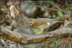 20161208-DSC_6804_13219-THRUSH-Japanese-0951- (guy.miller) Tags: female japanese thrush lamma hk hong kong birds guy miller