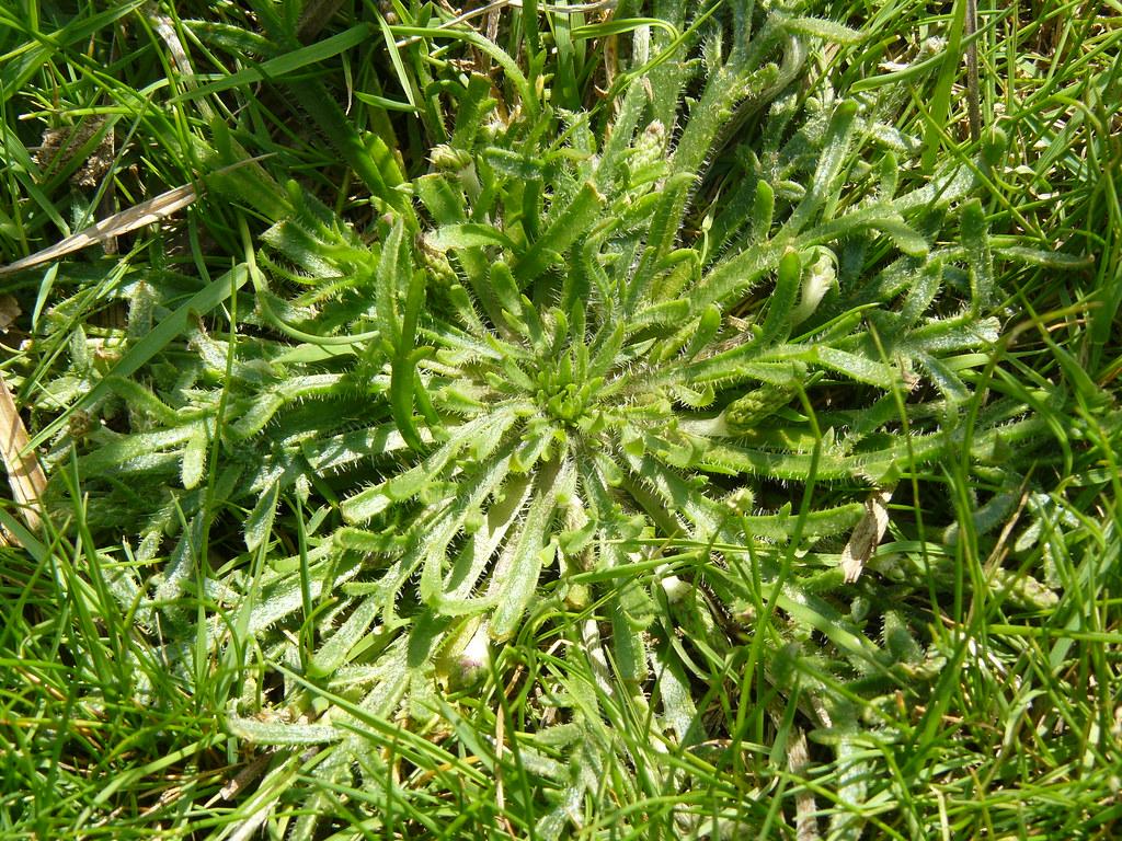 Plantago coronopifolium