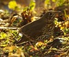 song thrush on forest floor (2) (Simon Dell Photography) Tags: derbyshire simon dell photography sheffield castleton snow 2017 friday 13th january peak district photos old new landscapes wildlife nature animals birds wild scenes buildings village awsome sunlight first winter