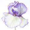 Blue/white iris (rick ligthelm) Tags: iris bluewhite blue white flower fleur blume bloem closeup macro bluewhiteiris