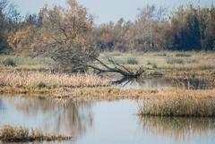 DSC_7165A1W (Montse Ponsa) Tags: aiguamolls aus aigua vegetacio ocell birds gi girona catalunya emporda