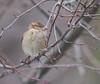 Female House Sparrow (fotogaffer1) Tags: em1ii birds 300mmf4
