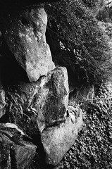 Stoned (bigalid) Tags: film 35mm ricoh ff9s dumfries december 2016 fujifilm neopan400cn c41 bw crichton garden rock