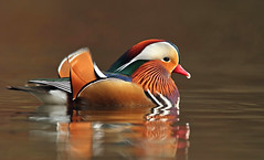 Mandarin duck (oddie25) Tags: canon 1dx 600mmf4ii duck mandarin mandarinduck wildlife wildfowl forestofdean bird waterbird winter nature