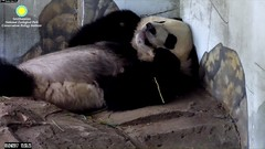 2017_01-24g (gkoo19681) Tags: beibei naptime fuzzywuzzy curledpaws toocute beingadorable stillababy sleepyhead ccncby nationalzoo