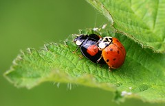 Harlequin ladybird  140516 (2) (Richard Collier - Wildlife and Travel Photography) Tags: naturalhistory wildlife insects british macro ladybird harlequinladybird
