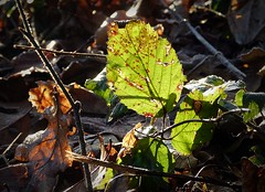 2016-12-27 Beaurepaire (62)green leaves (april-mo) Tags: leaves leaf feuille frosted frost gel deadleaves autumnleaves greenleaves