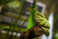 Jabba the hutt (Arnaud D...) Tags: frog starwars grenouille animal green vert bokeh skansen sweden stockholm jabbathehutt