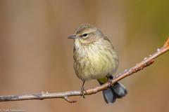BJ8A4218-Palm Warbler (tfells) Tags: palmwarbler bird nature passerine songbird va virginia cbc cape charles
