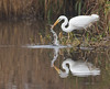 Striking great white egret (Darran Jones) Tags: greatwhiteegret canon7dmkii canon400mmf56 striking egret bird eating hunting longhamlakes ardea alba