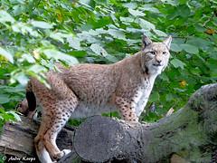 Eurasian lynx - Zoo Duisburg (Mandenno photography) Tags: dierenpark dierentuin dieren duitsland duisburg animal animals lynx eurasian luchs bigcat big cat zoo zooduisburg