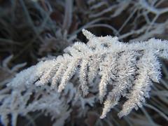 Eiskristalle (Manuela Vierke) Tags: deutschland germany meckpomm mecklenburgvorpommern insel rügen binz 2017 januar winter eis eiskristall adlerfarn farn pflanze plant