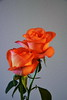 DSC_4268 (PeaTJay) Tags: nikond750 reading lowerearley berkshire macro micro closeups gardens indoors nature flora fauna plants flowers rose roses rosebuds