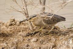 A Striated Heron (malc1702) Tags: striatedheron heron birds wildlife nature outdoor nikond7100 tamron150600 birdsinthewild
