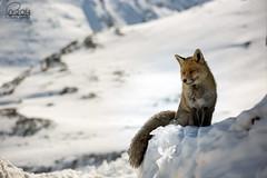 Fox smiling (aa_zf717) Tags: animali volpi ceresolereale piemonte italia it fox fauna vulpes parconazionaledelgranparadiso granparadisonationalpark ef70200mmf4lisusm