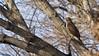 Redtail Hawk (mausgabe) Tags: olympus em1 olympusm40150mmf28 olympusmc14 nyc centralpark 68thstreet bird hawk redtail juvenile redtailhawk