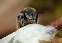 Lasioglossum Australictus plorator (Michael__Sanders) Tags: macro native bee canon kilmore victoria