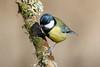 _F0A8685.jpg (Kico Lopez) Tags: carbonerocomún galicia lugo miño parusmajor spain aves birds rio