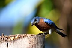 Eastern Bluebird male DSC_5910 (blthornburgh) Tags: thornburgh tampa florida bird nature backyard garden bluebird songbird easternbluebirdsialiasialis easternbluebird closeup