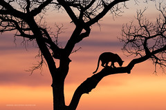 The Way of the Leopard (Marsel van Oosten) Tags: marselvanoosten squiver africa safari southafrica sunset silhouette tree backlight backlit leopard predator carnivore bigcat mammal phototour workshop wildlife photography