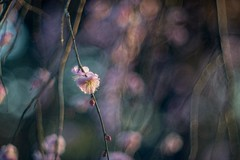 _DSC0408 (kymarto) Tags: bokeh bokehlicious plumblossoms flowers nature naturephotography pink nikon nikond800 depthoffield dof dallmeyer oldlens vintagelens japan ume