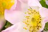 Wildrose (Frank-1985) Tags: flower rot rosa gelb staubblätter