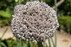 Allium schoenoprasum (Pat Celta) Tags: flowers naturaleza flores flower macro nature flora nikon d70 flor 60mm allium florecillas schoenoprasum ciboulette cebollino