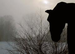 Brouillard du matin-2 (jeansplash) Tags: cheval branches extrieur printemps brouillard matin fujihs25exr